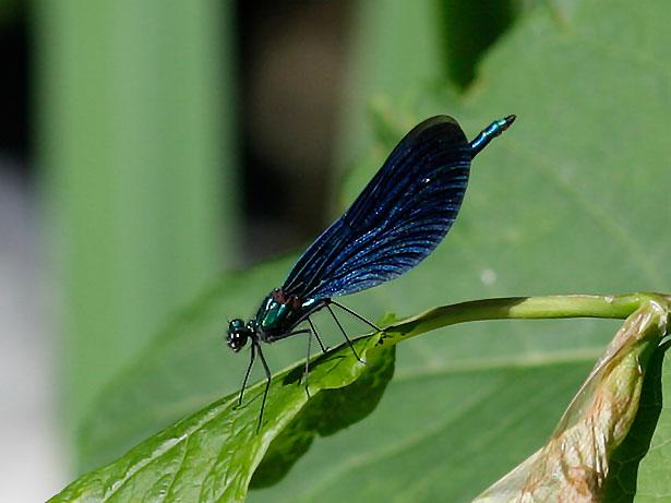 libellen und andere insekten am gartenteich eine chronik. Black Bedroom Furniture Sets. Home Design Ideas