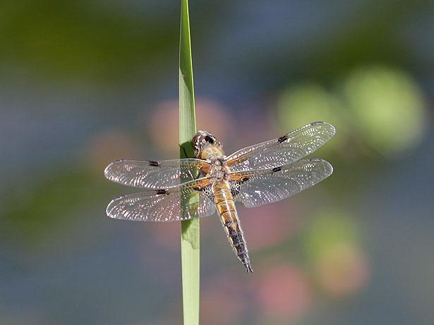 Libellen und andere insekten am gartenteich eine chronik for Kleine teichfische